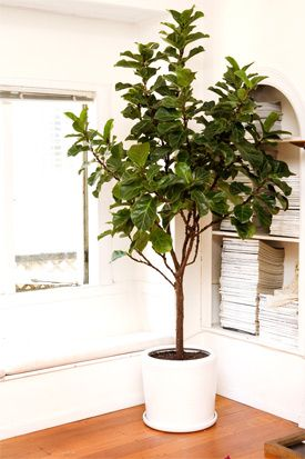 Indoor Trees that Spruce Up Any Space | Indoor trees, Low ...