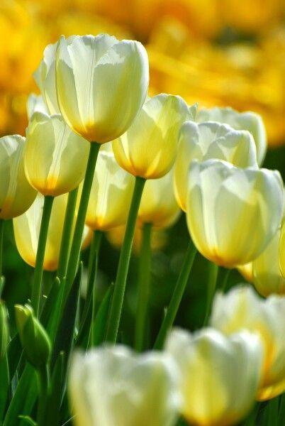 Lovely Tulips Amazing Flowers Beautiful Flowers Yellow Tulips