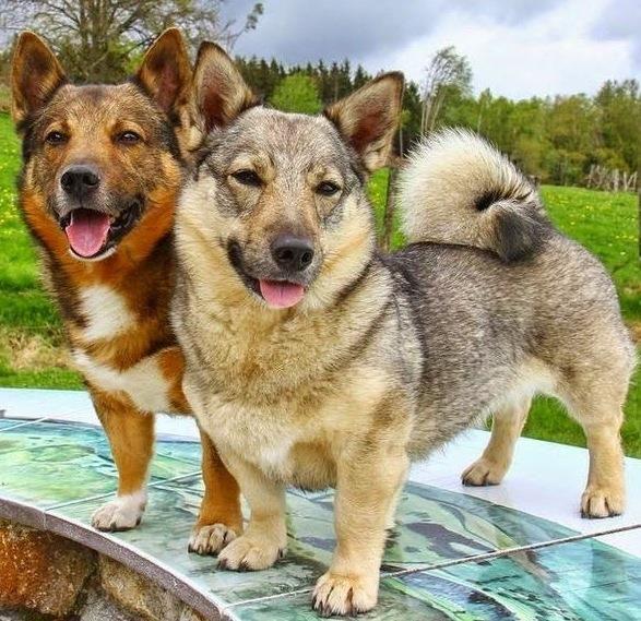 Swedish Vallhunds! Unique dog breeds, Dog breeds, Rare