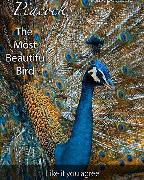 #BeautifulPeacock #HareKrishna #Haribol