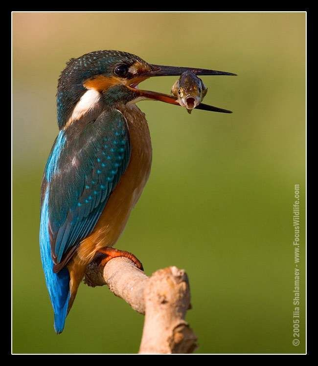 I'd even be happy to get a sharp picture of a kingfisher without the fish!