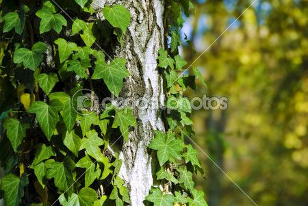 Green ivy — Stock Image #1836098