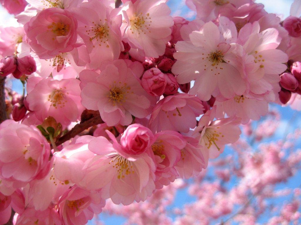 Sakura Cherry Blossom Cherry Blossom Wallpaper Japanese Maple Tree Care Sakura Cherry Blossom