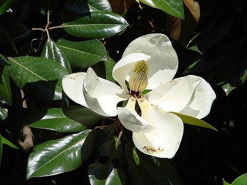Magnolia Grandiflora Kay Parris Kay Parris Magnolia North Carolina Extension Gardener Plant Toolbox Magnolia Grandiflora Showy Flowers Fragrant Flowers