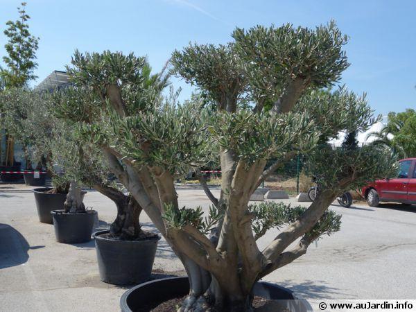 planter un olivier en pot divers jardin arbres en pots. Black Bedroom Furniture Sets. Home Design Ideas