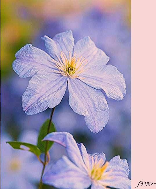 Photo of Clematis 'Prince Charles'