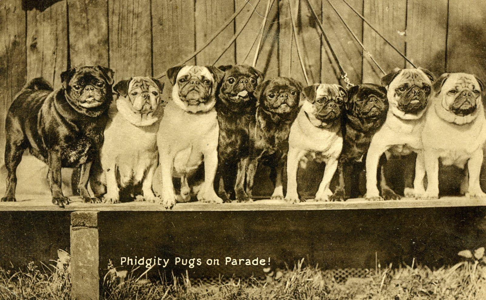 The Famous English Phidgety Pugs Cute Pugs Pug Puppies Pug Dog