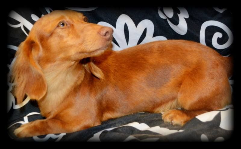 Chocolate Based Red Dapple Sire Of Elegant Dachshunds With Images