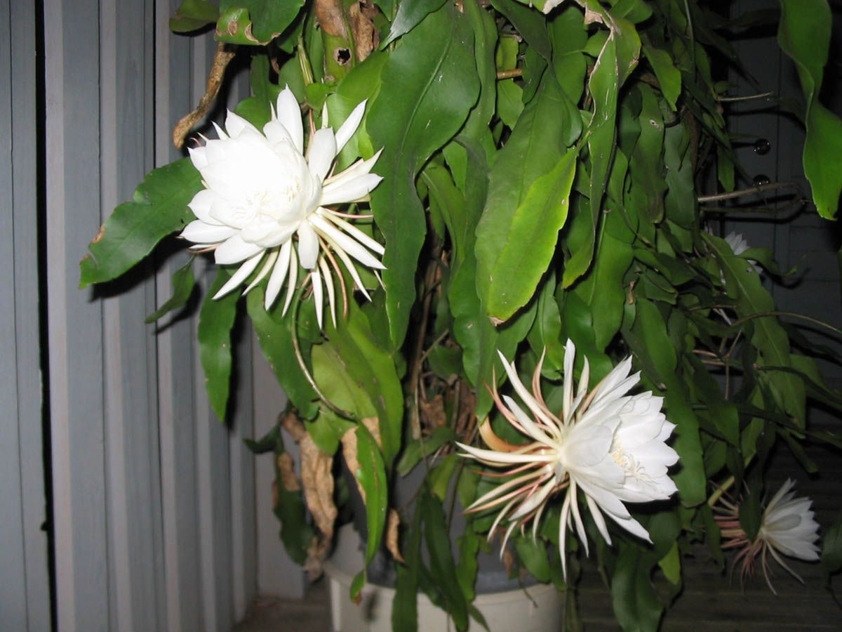 Epiphyllum oxypetalum | Live plants, Plants, Plant leaves |Night Blooming Cereus Cactus Care