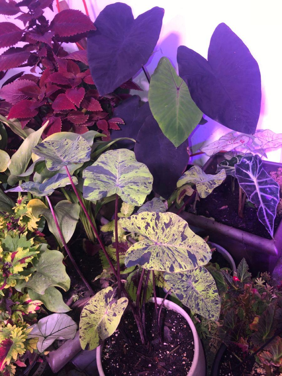 49+ Plantas de hojas moradas y verdes trends