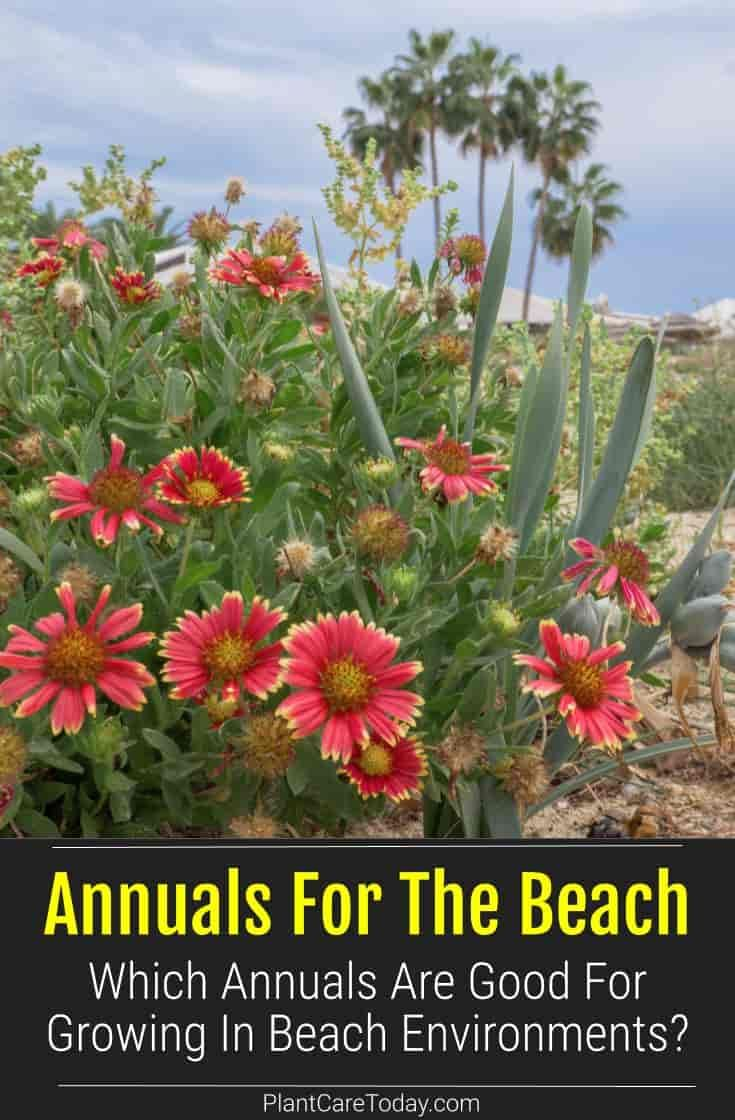 Annuals For The Beach Which Ones Are Best Heather Plant
