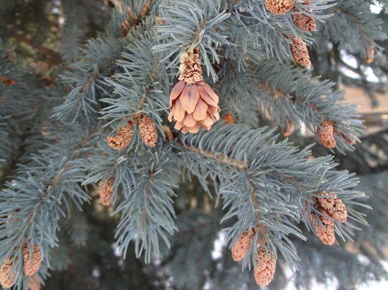blu spruce