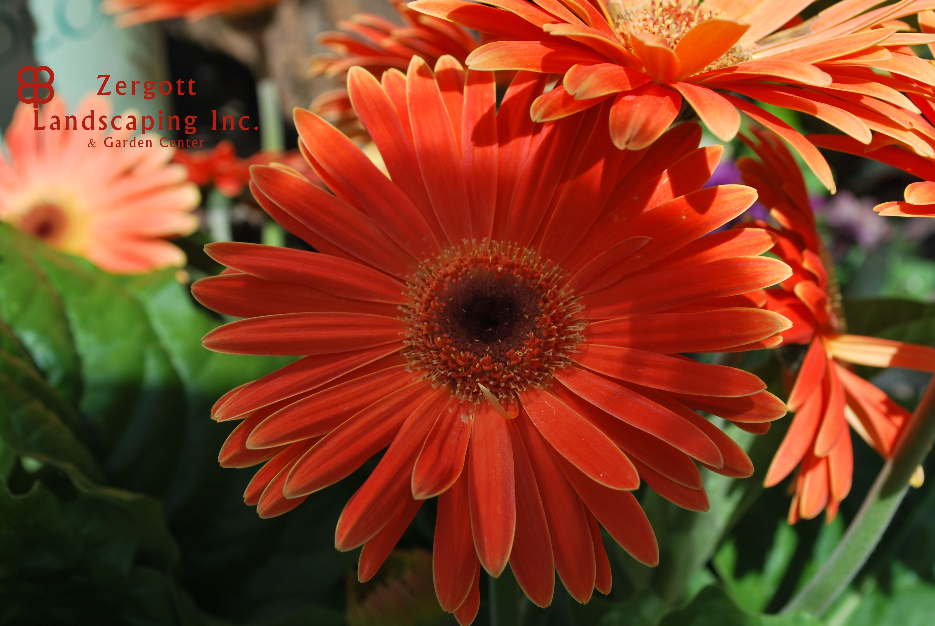 This type of plant is called a gerbera daisy types of flowers this type of plant is called a gerbera daisy izmirmasajfo