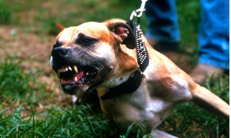 Pit Bulls Have Locking Jaws This Is Patently False There Is