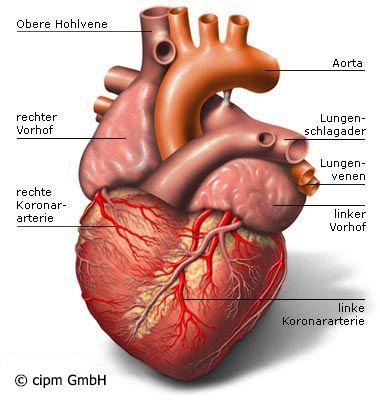 Das Herz | Medizin | Pinterest | Medizin, Gesundheit und Herz kreislauf