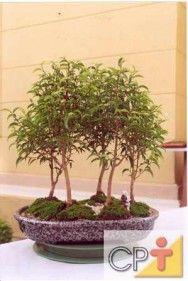 Bonsai - conheça as variedades de estilo, ferramentas utilizadas e espécies vegetais  #alcanceosucesso