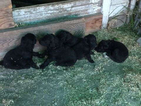 Litter of 5 Cadoodle puppies for sale in TWIN FALLS, ID  ADN