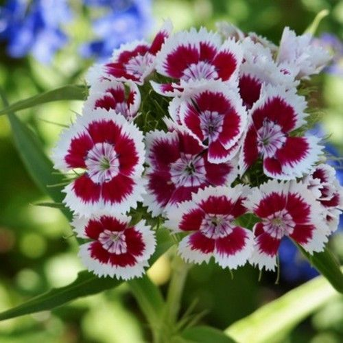 Dianthus Holborn Glory Flower Seeds Dianthus Barbatus 200 Seeds Dianthus Barbatus Flower Seeds Dianthus Flowers