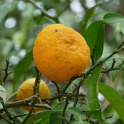 Yuzu is a citron native to East Asia. Its trees can survive in cold climates, which is rare for a citrus fruit. Much like lemons, yuzu aren't typically eaten alone because they are tart. The zest and juice are often used in cooking, especially in Japanese food. - Delish.com