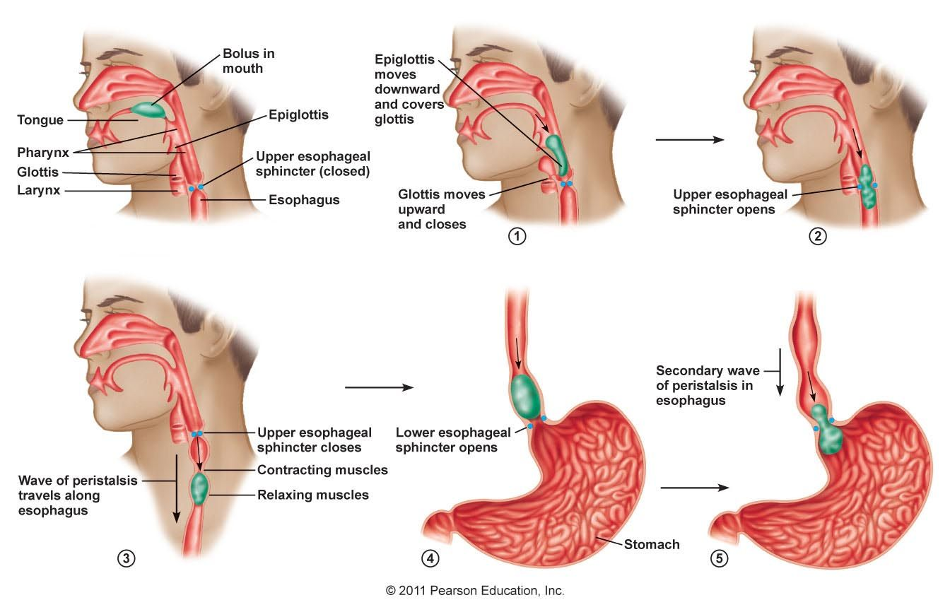 small resolution of swallowing deglutition is a complex action involving over 22 muscles coordinated by a