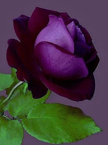 ROSES: Beautiful Deep Purple Rose