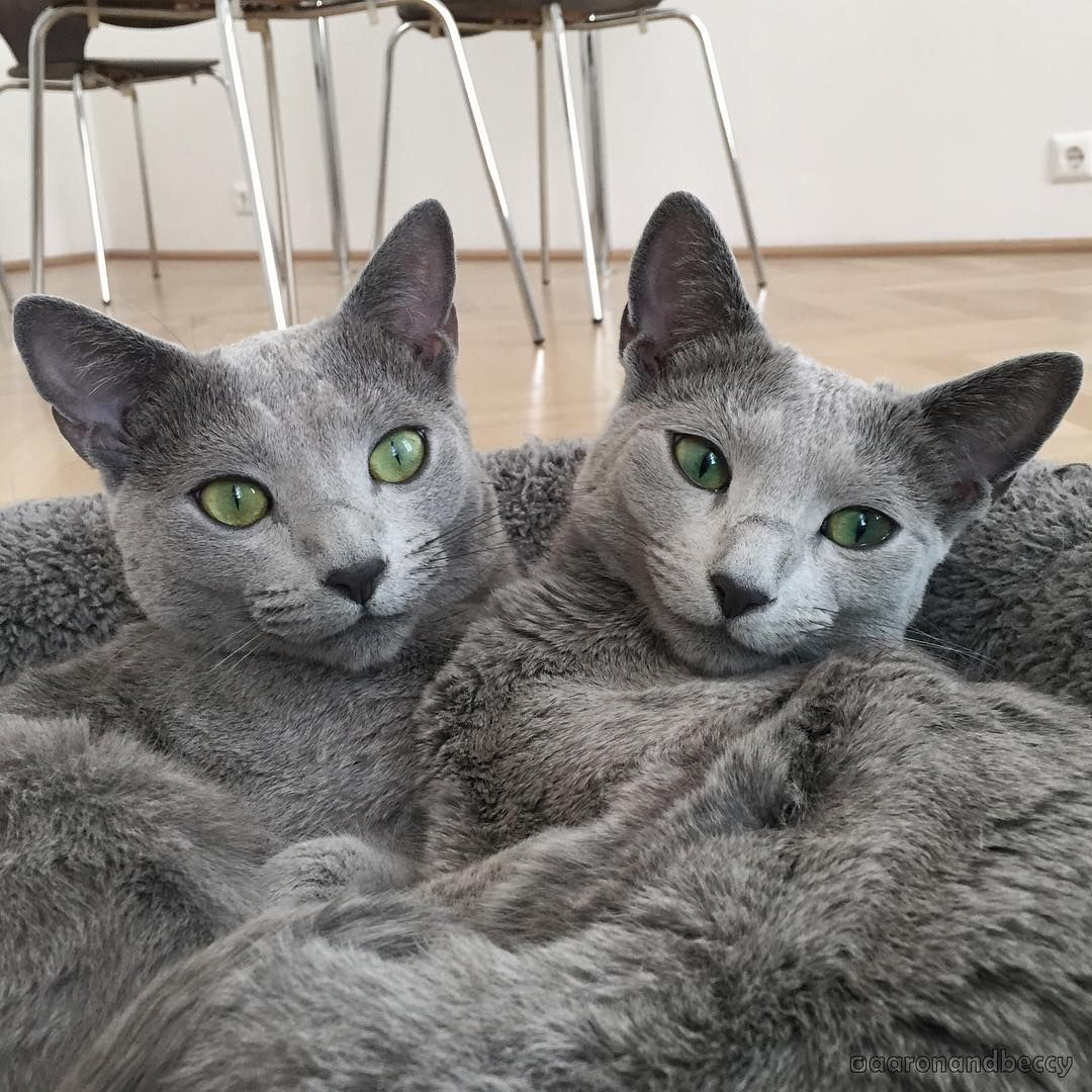 11 reasons why Russian Blue cats are the best Russian