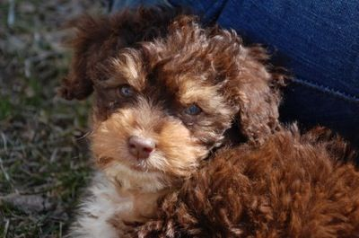 Fozzy A Toy Aussiepoo Puppy Shown Here At 10 Weeks Old Aussiedoodle Cuddly Animals Aussie Doodle Puppy