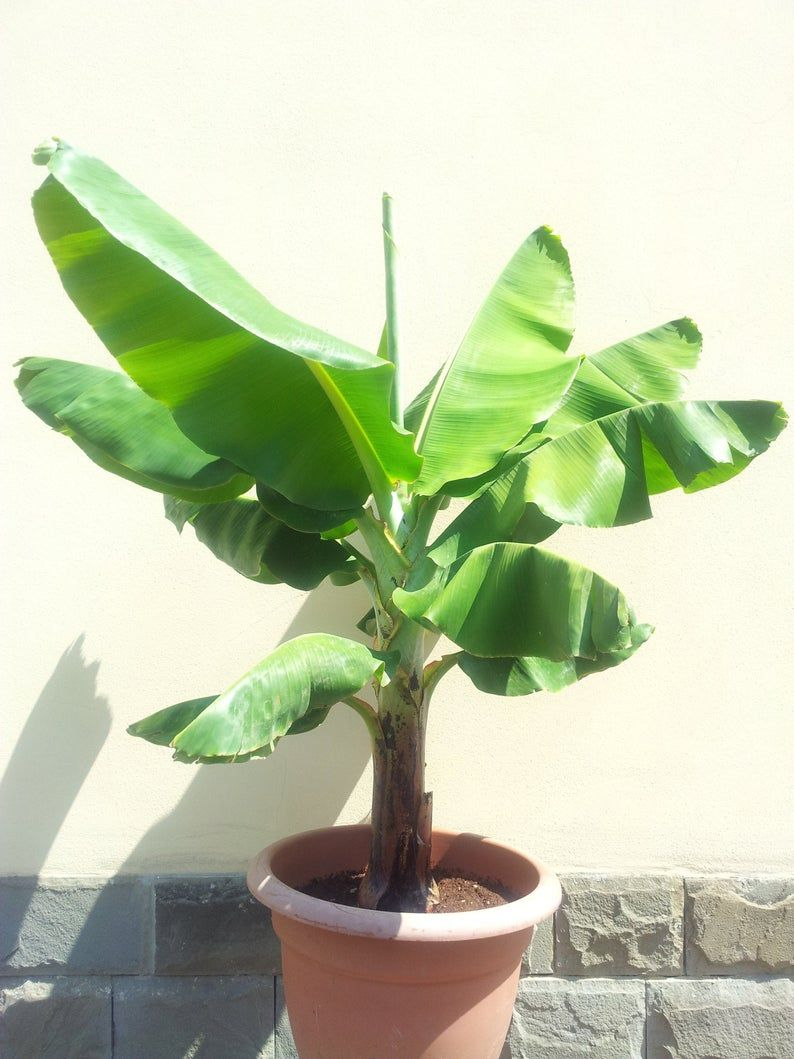 Musa Dwarf Cavendish Red Plant Evergreen Perennial Potted Greenhouse Banana Tree