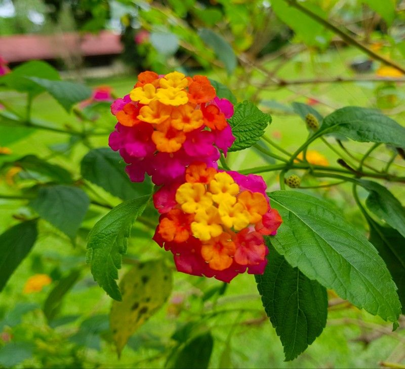 Lantana Flower Plants Lantana Flower Planting Flowers