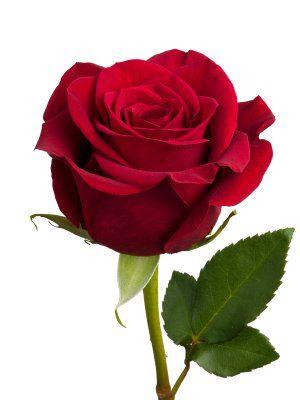 Pin by Anna Steinke on roses make me smile | Virágok