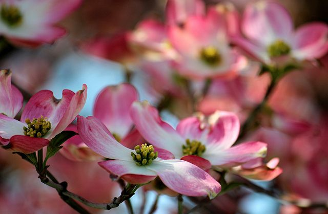 I Can Enjoy Society In A Room But Out Of Doors Nature Is Company Enough For Me Pink Dogwood Tree Pink Dogwood Dogwood Blossoms