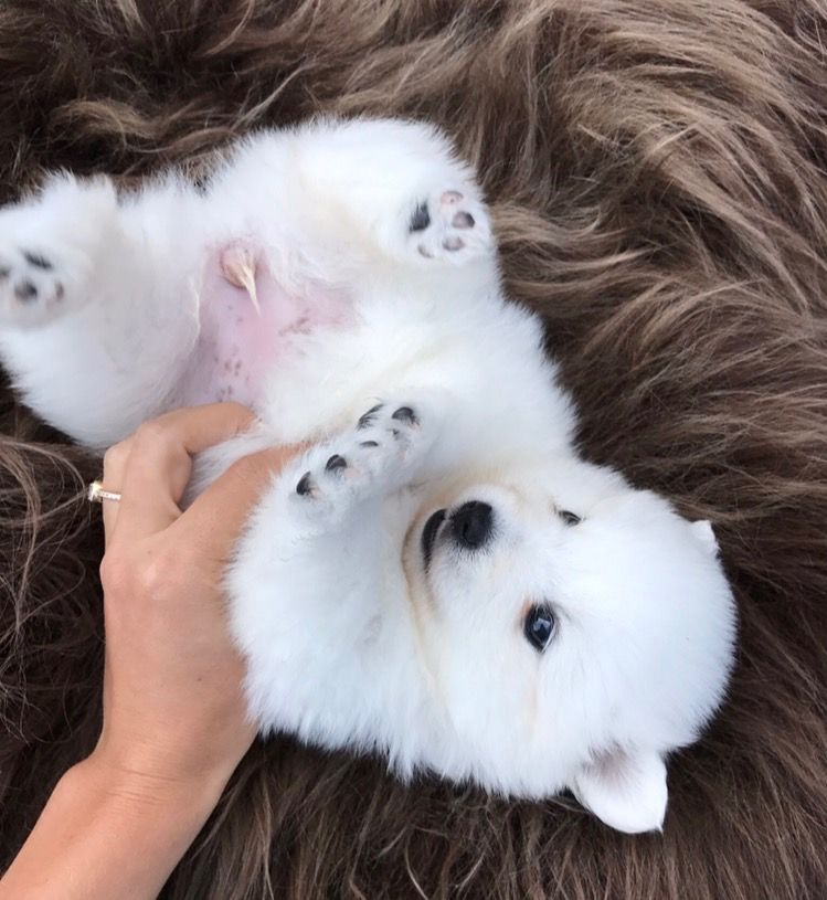 Cool Samoyed Chubby Adorable Dog - 7d9c6b581a17193ffb5b05a06d3899c5  Picture_271345  .jpg