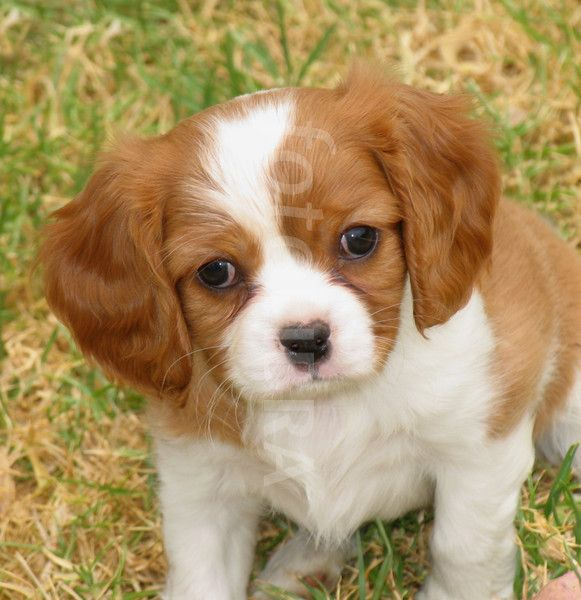 Must see Charles Spaniel Brown Adorable Dog - 7d9db557344fd6e75baddfacae5673d6  Perfect Image Reference_756436  .jpg