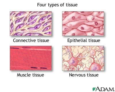 Human Anatomy And Physiology Chapter 04 Tissue Types Human Anatomy And Physiology Tissue Biology