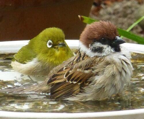 little birds. Cute! Green wax eye & male sparrow   ペットの鳥. 可愛い鳥. 美しい鳥