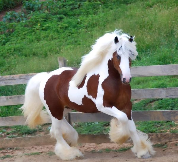 Gorgeous horse! Beautiful feathers, tail and mane!