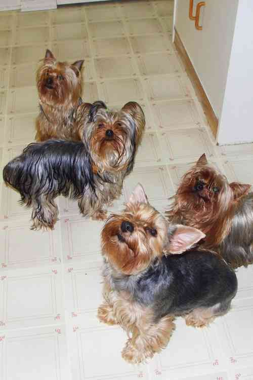 Yorkshire Terriers Yorkshire Terrier breed profile