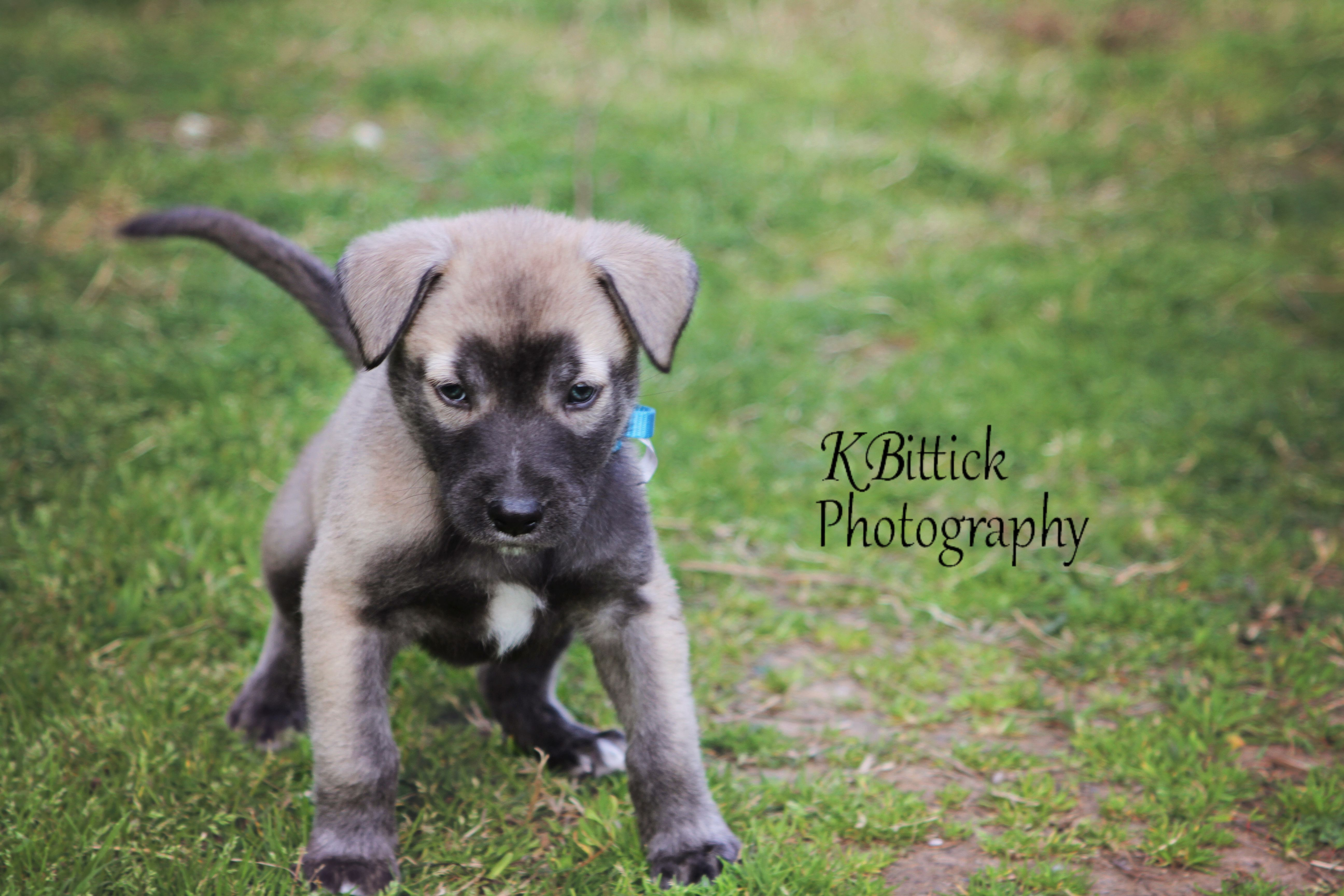 Black Mouth Cur German Shepard Timber Wolf Mix Puppy Black