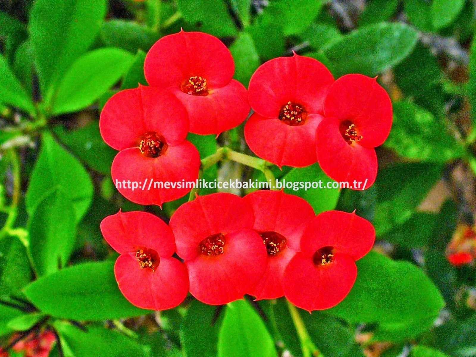 Dikenler Taci Euphorbia Milii Bakimi çiçek Bakımı çiçek