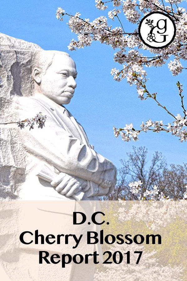 Washington D.C. Cherry Blossom Report (2017) Navigating snowstorms & hyped-up headlines to get the floral facts!    #gradinggardens #cherryblossoms #washingtonDC #DCcherryblossoms #tidalbasin #gardenblog #MLK #MartinLutherKing