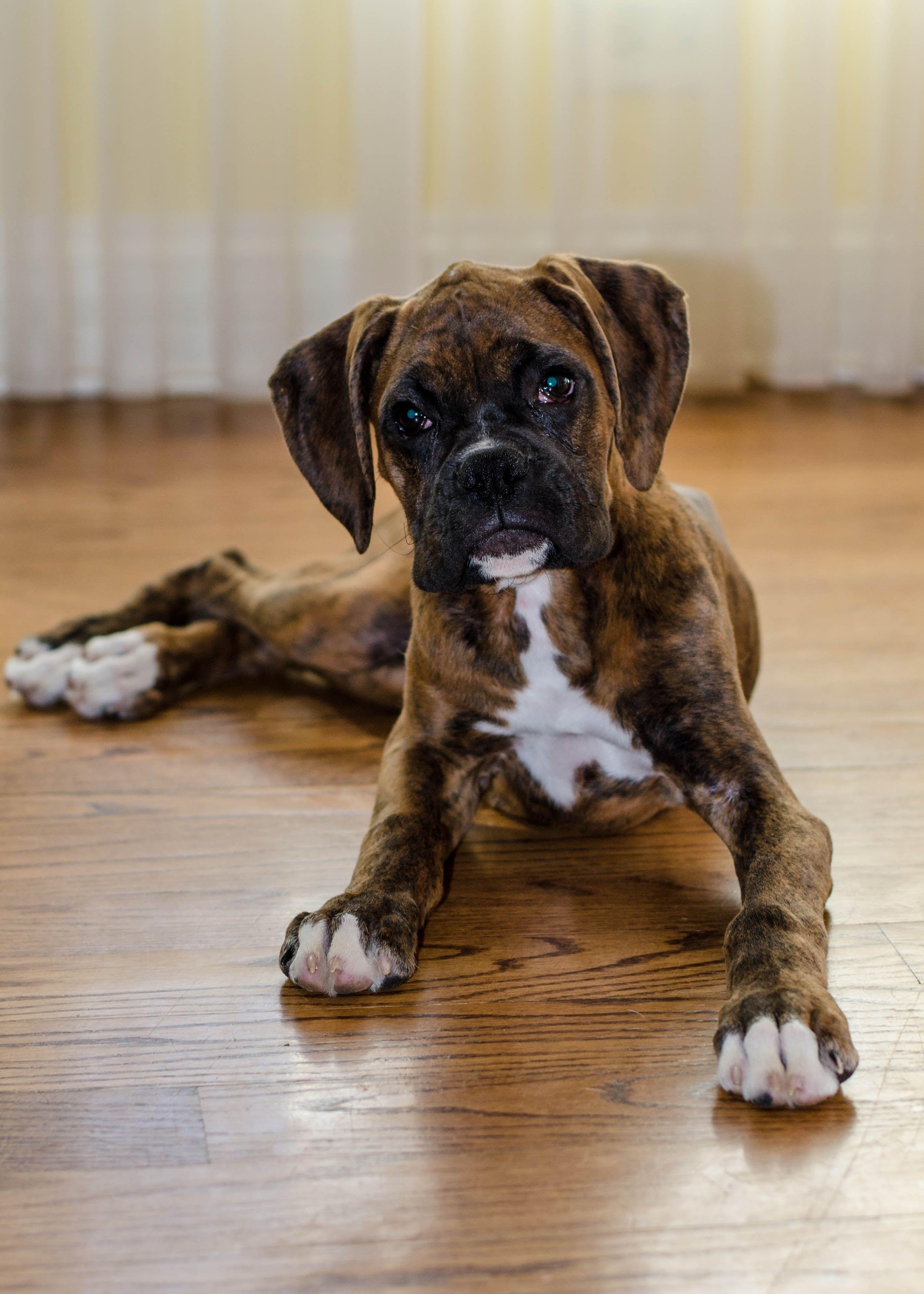 frito the 3 month old boxer puppy boarding school graduates
