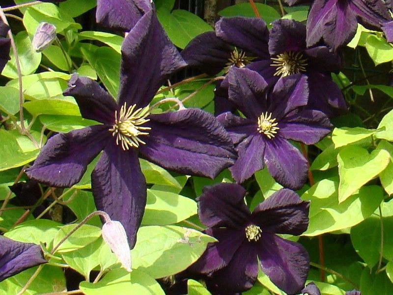 Clematis Romantika is another great hybrid from Uno Kivistik. The rich dark purple flowers are almost a lustrous black color in some light and bloom from early to late summer.