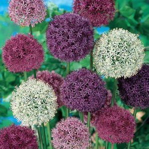 Shop Giant Allium Mixture At Breck S In 2020 Bulb Flowers Allium Flowers Planting Bulbs