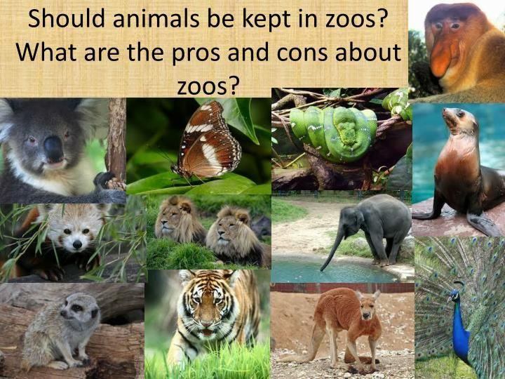 Animals should never be kept in zoos essay