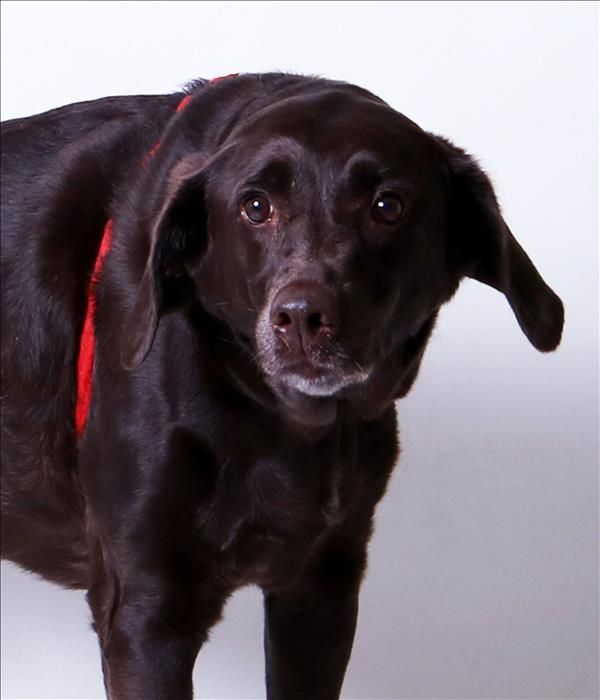 Franklin County Dog Shelter Adoption Center Columbus Oh Josie May Is A 10yr Old Female Labrador Mix Shelter Dogs Dogs Labrador Mix