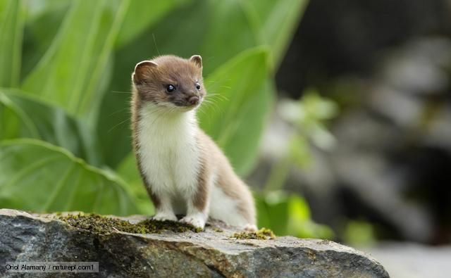 Baby short tailed weasel - photo#34