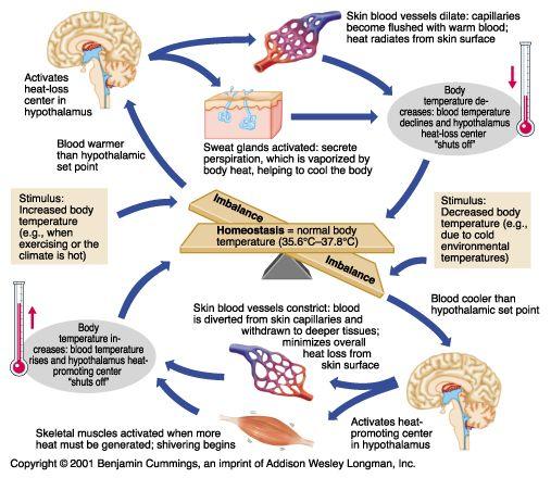 negative feedback loop for blood pH - Google Search | biology ideas ...