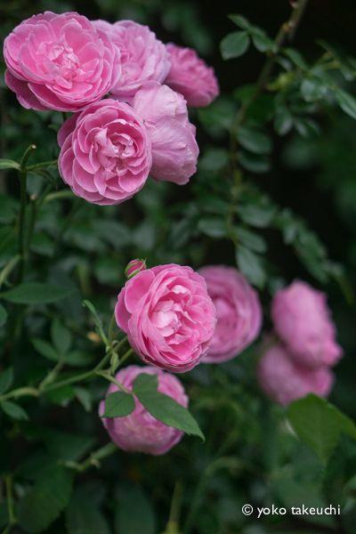 https://flic.kr/p/t9jPwt | rose garden