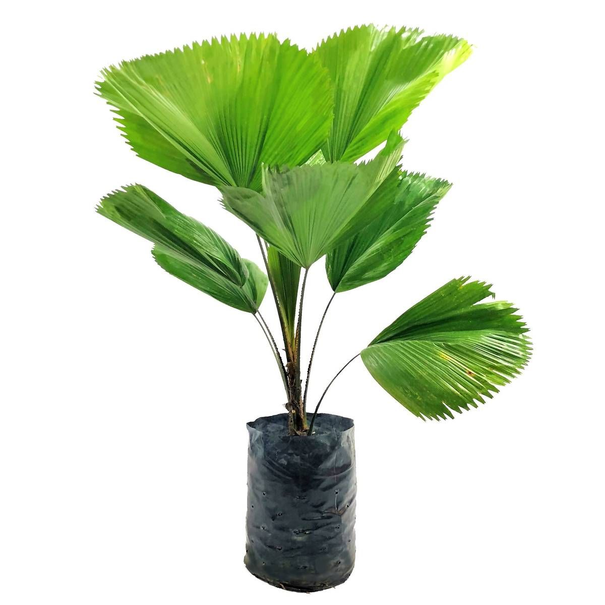 House Plants For Shady Rooms: Licuala Grandis, Ruffled Fan Palm (1.0m)