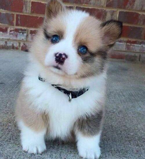 Must see Cute Puppy Blue Eye Adorable Dog - 7da4ec976f7e26f5c5f6bbe952b41e74  Collection_975466  .jpg